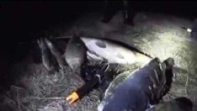 Подводная охота на 7 кг карпа весной,Челябинская обл