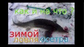 ЛОВЛЯ ОСЕТРА В ПОДМОСКОВЬЕ, КРАСНОГОРСК