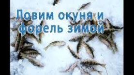 Окунь зимой на блесну и опарыша- Окунь под льдом