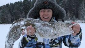 Трофейный налим на жерлицу на реке Ангара, Иркутск