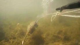 Подводная охота на карпа, Квебек-Канада