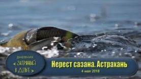 Как нерестится сазан? Рыбалка в Астрахани весной