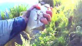Подлещик на фидер Ловля со сливовой прикормкой С фидером на большой глубине