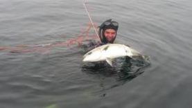 Подводная охота на лакедру 2016