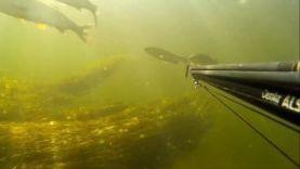Подводная охота на жереха, Волга-Волгоград