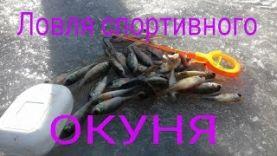 Ловля окуня зимой на мормышку, сезон 2016 – 2017