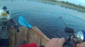 Ловля сома с помощью квока, Западная Двина 2016
