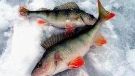 Ловля спортивного окуня зимой: рыбалка в Тамбове