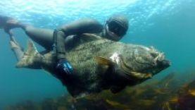 Подводная охота на палтуса на видео, Норвегия